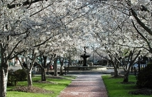 cherry-blossom-trees-640x424