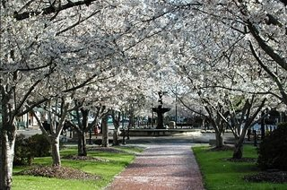 Cherry Blossom Trees - Macon has more cherry trees than Washington D.C.
